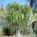 Beaucarnea goldmanii