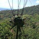 Tacca leontopetaloides Flower