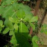 Rauvolfia tetraphylla