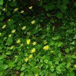 Doronicum x excelsum