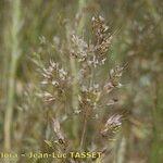 Agrostis castellana