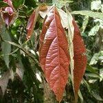 Rourea suerrensis
