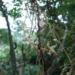 Cuscuta japonica
