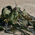 Welwitschia mirabilis Habit