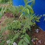 Trema micrantha Leaf