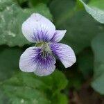 Viola palustris