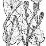 Hieracium viscosum