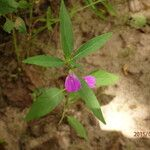 Dicliptera paniculata