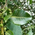 Ficus rubra