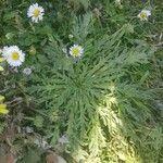 Plantago coronopus List