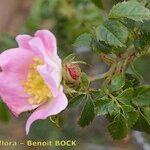 Rosa squarrosa