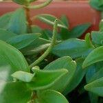 Peperomia magnoliifolia