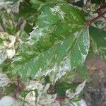 Hibiscus rosa-sinensis List