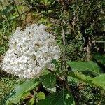 Viburnum tinus Flor