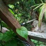 Dioscorea bulbifera Foglia