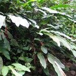 Heliconia trichocarpa