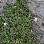 Arenaria fragillima