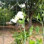 Pisum sativum Flower