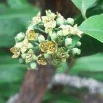 Santalum paniculatum Virág