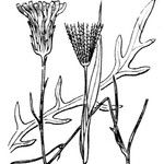 Hypochaeris cretensis