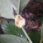 Psychotria platypoda