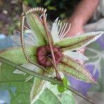 Passiflora lobata