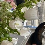 Campanula medium Fleur
