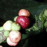Ficus schippii