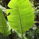 Heliconia monteverdensis