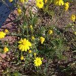 Anacyclus radiatus Flower