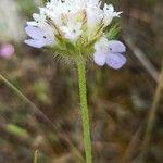 Lomelosia simplex