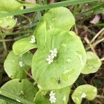 Montiaceae