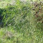 Acacia saligna Hoja