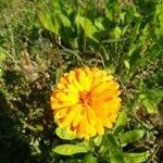 Calendula officinalis Blomma