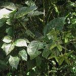 Tetrapterys monteverdensis