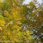 Juglans ailantifolia