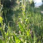 Cirsium pyrenaicum