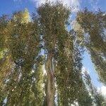 Populus alba Liść