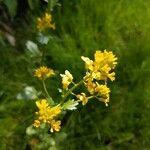 Barbarea vulgaris Kvet