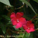 Nerium indicum x Nerium oleander