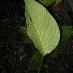 Anthurium oerstedianum