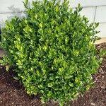 Buxus sempervirens Blad