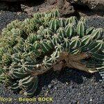 Euphorbia echinus