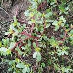 Portulaca oleracea Blad