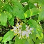 Solanum bahamense