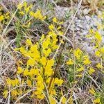 Cytisus pseudoprocumbens