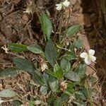 Viola saxifraga