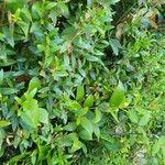 Myrtus communis Leaf