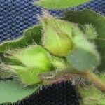 Sida hyssopifolia