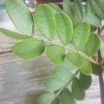 Pistacia lentiscus Leaf